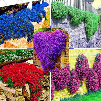 100 pcs / bag Rock Cress Seeds Rock Cress Seeds Climbing Plant Barley perennial bonsai flower plants for home decoration