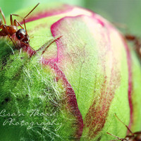 Insect Photography, Nature Photography, Peony, Macro Photography, 8x10