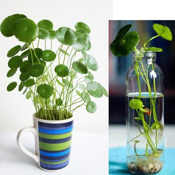 50 Pcs/bag Copper Grass Pilea Seeds Cold Water Flower Seeds Indoor Putdoor Pot Seed Aquatic Plant Bonsai Annual Garden Ornaments