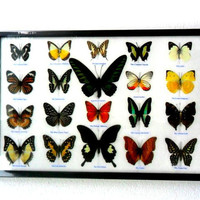 20 Real Butterfly Butterflies Framed Display Rare Insect Taxidermy frame