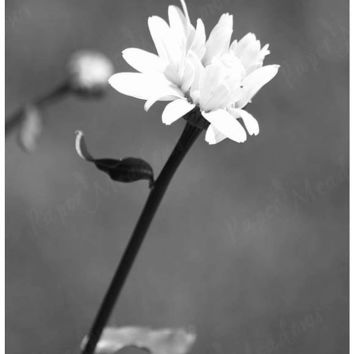 Black and White Daisy Flower Photo Download, 5x7, printable photo, white flower