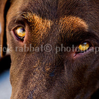 Dog Photography Instant Digital Download Fine Art Animal Photography Chocolate Lab Cute Photo Yellow Eyes Dog Lover Pet Lover