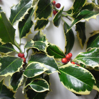 Scottish grown Variegated Holly   yule christmas decorations cut to order