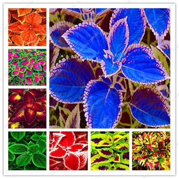 120 Pcs Bonsai Rainbow Coleus Flower Beautiful Foliage Plants Perfect Color Dragon Balcony Begonia Bonsai Easy To Grow Diy Home