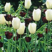 Martha Stewart Living, Tulip Queen Of Night & Tulip Maureen Dormant Bulbs (48-Pack), 70373 at The Home Depot - Mobile