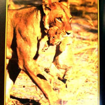 Lioness Carrying Lion Cub Poster 24x36