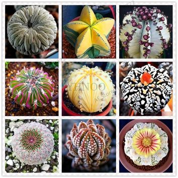 Hot Selling 200pcs/lot Mixed Astrophytum Cactus flores Succulents Plants Bonsai plantas DIY Home Garden Potted Plant Flower