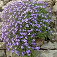 Rockcress Pale Blue Flower Seeds (Aubrieta Hybrida Graeca) 100+Seeds