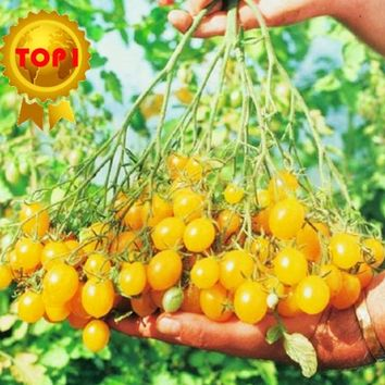 Hot sale 300pcs CHINESE Cherry TOMATO seed MINI YELLOW vegetables fruit seeds bonsai tree plant home & garden rose seed for gift