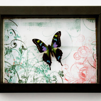 FREE SHIPPING  Real Butterfly Encased in 8X6X1.5 inch Shadow Box
