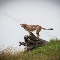 Cheetah of Masai Mara, Kenya, Nature, Big Cat, Wildlife, Lion King, Animal Print, Animal Art, African Safari, Kids room decor, Matte Framed