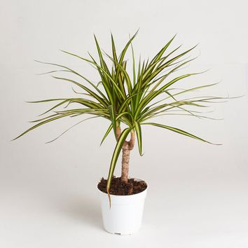 "LIVE 4"" Sun Ray Dracaena Indoor House Plant - Ships Alone"