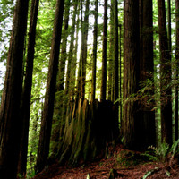 Family Trees Redwood Forest » Craftori