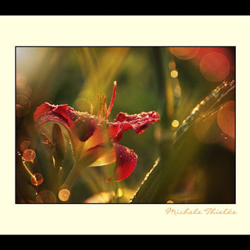 Lily Floal Photography crimson,red,yellow,gifts under 25,home decor,brilliant red daylily,closeup,macro photography,raindrops,magical,bokeh