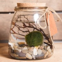 Hinterland Trading Live Aquatic Marimo Moss Ball Plant Pet Glass Aquarium Kit