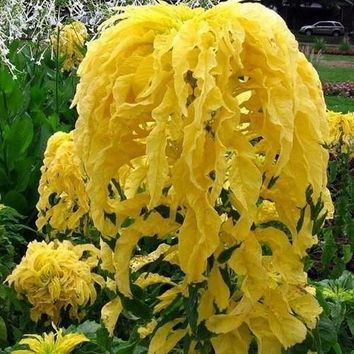 Amaranthus Joseph's Coat Seeds (Yellow) 200+ Seeds