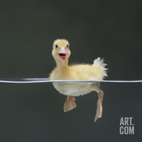 Duckling Swimming on Water Surface, UK Premium Poster by Jane Burton at Art.com