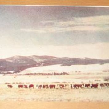 Vintage Winter Range Whiteface Herefords Montana Postcard