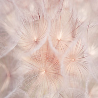 Nature photography minimalist photograph of dandelion fine art print photo print 8x12 or 8x10 wall decor pale pink abstract wall art