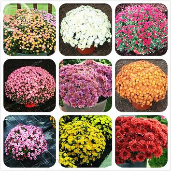 100 Pcs/Bag Ground-cover Chrysanthemum Seeds Chrysanthemum Perennial Bonsai Flower Seeds Daisy Potted Plant For Home Garden