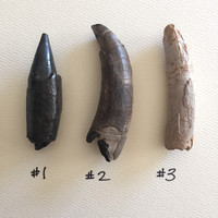 """Fossilized Whale Teeth 2"""" - 3"""""""