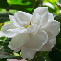 Gardenia Cybilla Fragrance Oil | Bramble Berry® Soap Making Supplies
