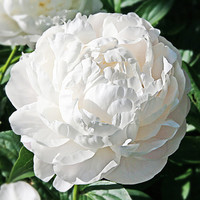 5 Giant Snow White Peony Flower Seeds 'Bai Dew' Rare Beautiful Flower For Garden Bonsai Plants Light Fragrant Big Blooming Glorious Gorgeous