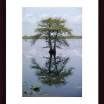 A Bald Cypress Or A Pond Cypress Taxodium, framed black wood, white matte
