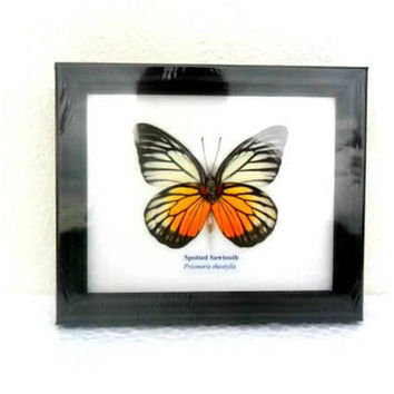 Real Framed Butterfly Display Rare Insect Taxidermy Real Spotted Sawtooth Butterfly Display