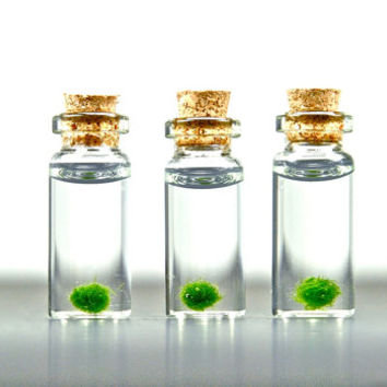 3 Miniature Marimo Moss Ball Bottles, Marimo Ball Vials, Miniature Aquariums, Miniature Terrariums, Miniature Bottles, Stocking Stuffers