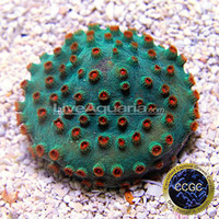 Saltwater Aquarium Corals for Marine Reef Aquariums: Meteor Shower Cyphastrea Coral - Aquacultured