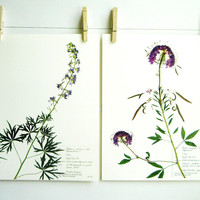 Print Set of 2 Purple Colorado Wildflowers, Herbarium Specimen Pressed Botanical Art Print Set, Larkspur and Rocky Mountain Beeplant