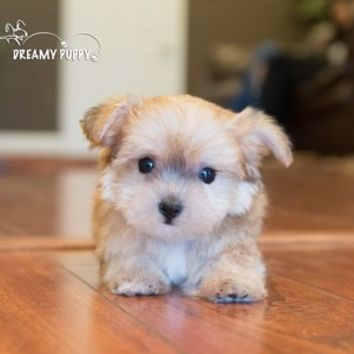 Buy a Teacup Yorkiechon puppy , from Dreamy Puppy available only at DreamyPuppy.com Place a $200.00 deposit online!