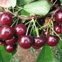 SD0509 Sweet & Meaty Black Cherry Seeds, Prunus Serotina Cherry Fruits (15 Seeds)