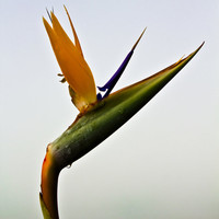 The Bird of Paradise - Botanical Series - Botanical Print