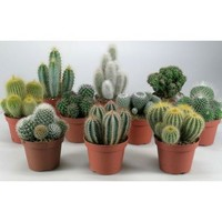 Cactus Mix Houseplant - 10.5cm | Homebase