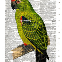 Red-Fronted Parrot, Jardine's Parrot - Bird - Vintage Dictionary Art Print - Page Size 8.5x11