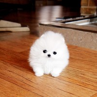 teacup pomeranians - Google Search