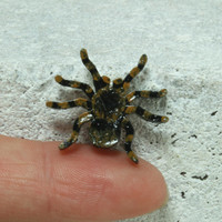 Mexican Redknee Tarantula MINI magnet Handmade pottery magnet Tiny animal