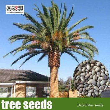 5 Pieces Ornamental Plant Date Palm Green Gardening Seeds, Landscape Tree Seeds