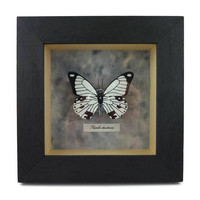 """Black and white faux """"Papilio dardanus"""" butterfly box frame, framed painted plastic butterfly (recycled CD), faux entomology, faux taxidermy"""
