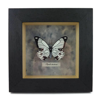 "Black and white faux ""Papilio dardanus"" butterfly box frame, framed painted plastic butterfly (recycled CD), faux entomology, faux taxidermy"