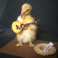Taxidermy duckling Mr Busker