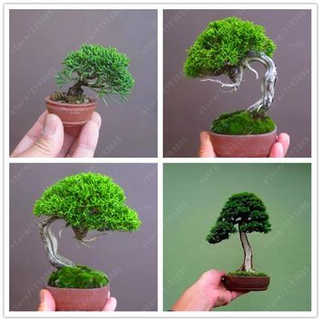 50 pcs/bag Miniature pine seeds, bonsai tree seeds, indoor woody plants, pine tree perennial plant for miniature garden