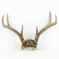 Deer Antlers Eight Point with Fur