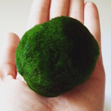 Large Marimo Moss Ball Aquarium Plant Live Algae
