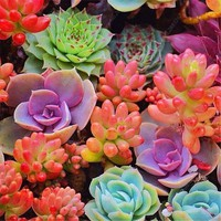 200 pcs/ bag Semillas De Flores Mixed Succulent Seeds Bonsai potted Mini Lithops Flower Plant Living Stone Garden Planta