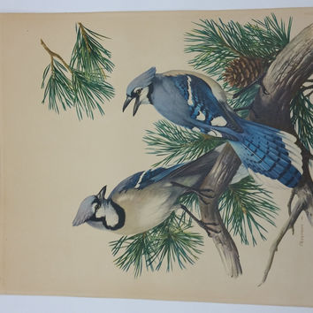Roger Tory Peterson Blue Jay Lithograph Print: Birds of Our Land Series