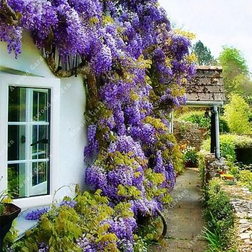 ZLKING 10 PCS Rare Chinese Beautiful Creepers Wisteria Seeds Outdoor Ornamental Perennial Flowers For The Garden Fast Growing