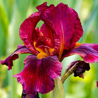 Heirloom 50 Seeds Iris Germanica Bearded Irises German Iris Red flag Garden Flower Bulk Seeds S003